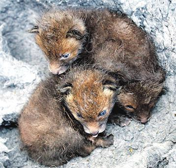 Three fox cubs who were found without their parents by a JCB driver close to Athlone