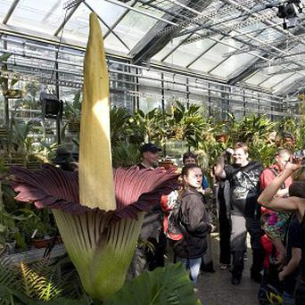 Visitors look at a blooming amorphophallus titanum, pictured in the botanical garden of the university of Basel, Switzerland (AP)
