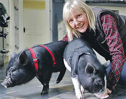 Denise Woods, who is responsible for introducing micro pigs to Ireland, at her home near Dundalk, Co Louth, yesterday with her pigs Lucy and Dido