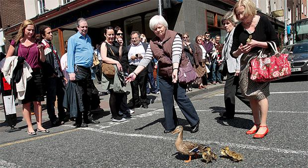 A woman safely ushers the ducks across to St Stephen's Green in Dublin yesterday. Photo: Tom Burke