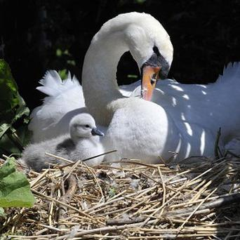 Newborn cygnet 'Sunny' and his mother Annabelle at the Abbotsbury Swannery in Dorset