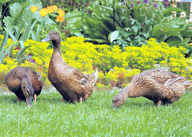 Duck not only provide eggs and meat but they can control slugs and other pests in the garden