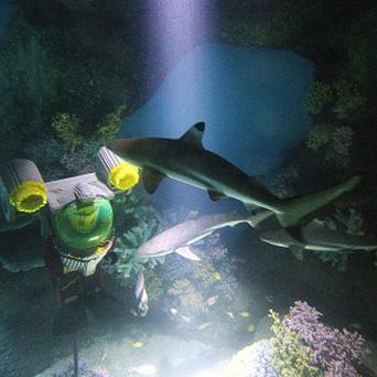 A Shark is released into the world's first Lego-themed aquarium tank at Legoland Windsor