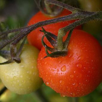Organic tomatoes are healthier