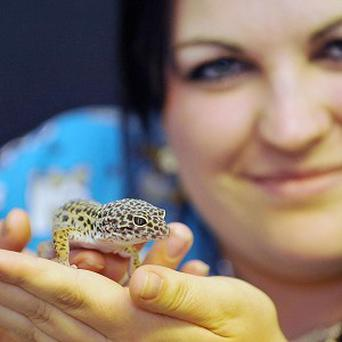 Sahara the leopard gecko, who turned up safe and well after hitching a 100-mile ride inside an envelope, with eBay shopper Phillipa Durrant