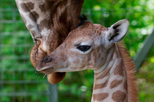 The baby giraffe, which is 6ft tall, was born in Dublin Zoo on Monday. The calf will be unveiled to the public during the zoo's Africa Day celebrations tomorrow