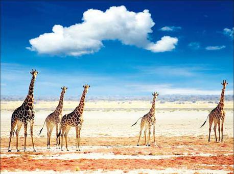 A tower of giraffes makes its way across the savannah