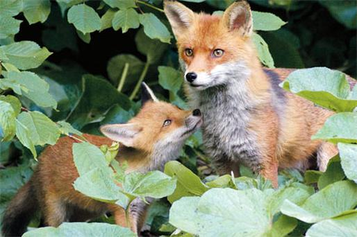 A fox cub stands close to its watchful mother at their den not far from Dublin city centre. Photo: Paul Hughes