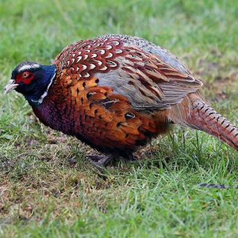 Police have reported that around 800 pheasant chicks have been stolen in Colemore, near Alton in Hampshire