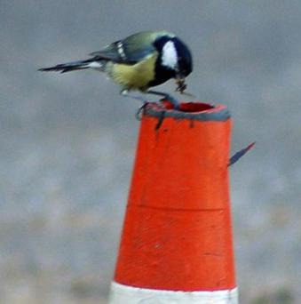 Great tits at Holt Hall in Norfolk made their nest in a traffic cone
