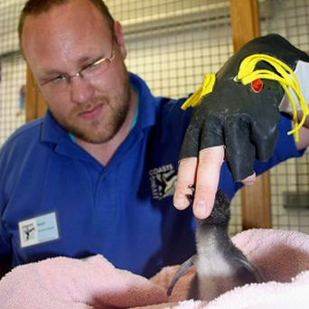 A Living Coasts zoo keeper fools a penguin chick into thinking a black industrial glove is its parent