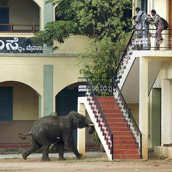 A wild elephant charges around Mysore, in the southern Indian state of Karnataka(AP)