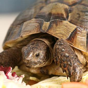 A tortoise reported stolen from a back garden has been found in a neighbouring street