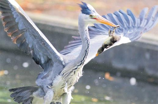 The heron plucks one of the helpless ducklings from the water in Dublin's Herbert Park yesterday