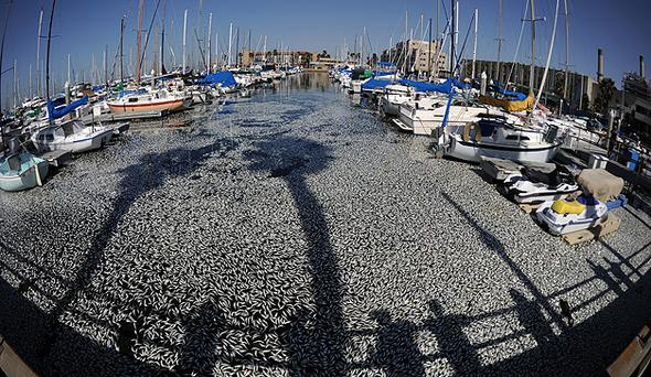 Millions of dead anchovies floating at a marina in Redondo Beach, California, in March. Photo: Getty Images
