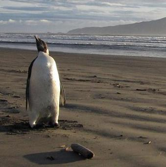 An Emperor penguin is stranded on a New Zealand beach (Department of Conservation)