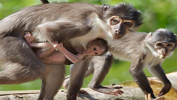 The white crowned mangabey has now arrived at Dublin Zoo