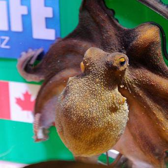 Octopus Paula makes her prediction for the opening match of the Women's World Cup in Germany