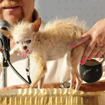 A judge evaluates Yoda during the 2011 World's Ugliest Dog Contest in Petaluma, California (AP)