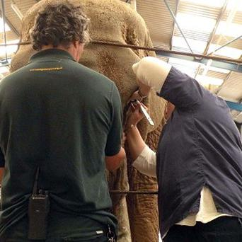 Duchess, the 40-year-old elephant, undergoing an eye examination at Paignton Zoo
