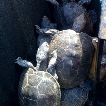 Captured turtles at New York's JF Kennedy airport after 150 of the creatures crawled onto the tarmac (AP)