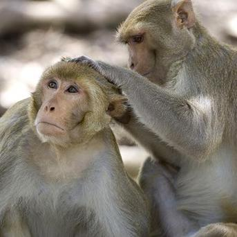 Rhesus monkeys may not recognise themselves in a mirror, but they can monitor their own mental states (AP)