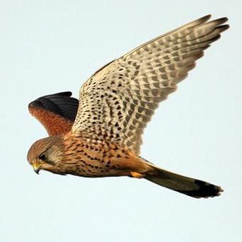 Britain's busiest motorway is proving a haven of tranquillity for a family of kestrels