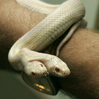 A two-headed snake has gone on show at a zoo in the Ukraine (AP)