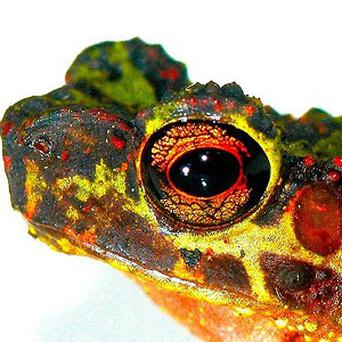 A Sambas stream toad or Bornean rainbow toad has been photographed for the first time