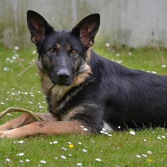 Vegas, the would-be police dog who was rejected because she did not like to bite
