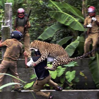 A leopard attacks a forest guard after it strayed into a village and mauled several villagers (AP)