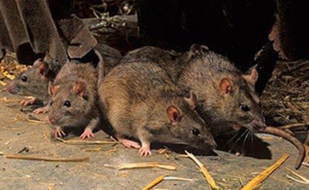 The rat problem became worse after the council moved to fortnightly household refuse collection