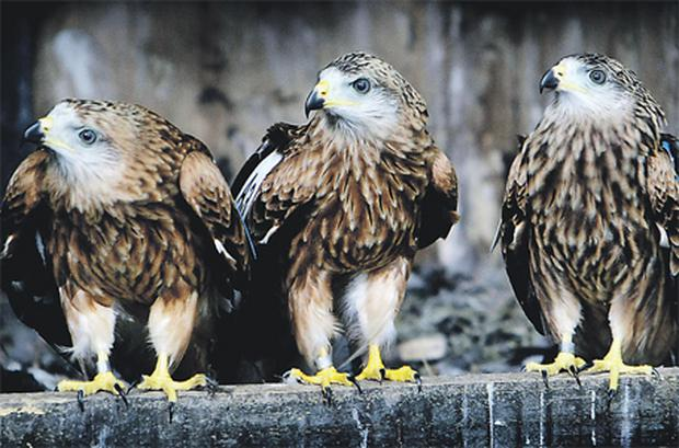 Three of the 26 red kites, which were released into the wild yesterday at Newbridge Demesne in Donabate, Co Dublin