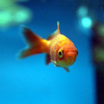 Two goldfish have survived 134 days without food after the earthquake in New Zealand
