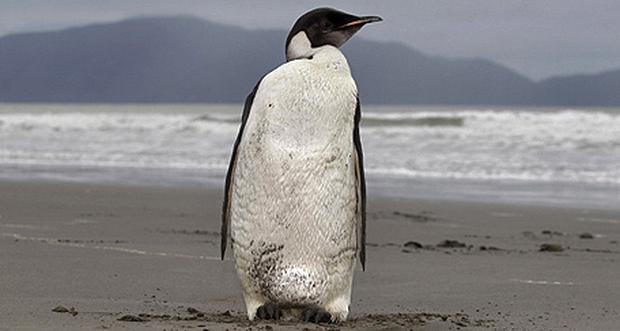 New Zealand's favorite penguin visitor has been given health clearance to be returned to the wild