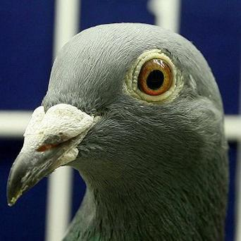 A timer inside a pigeon fancier's rucksack sparked suspicion on a train