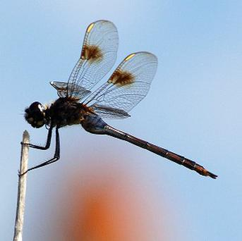 Dragonflies have been doing their thing on Earth since before the dinosaurs