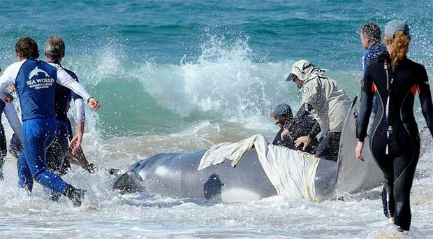 The beached humpback calf is helped back into the water by rescuers from the Sea World and the Queensland Department of Parks and Wildlife on Surfers Paradise beach. The whale later began to swim by itself. (AP Photo/Steve Holland)
