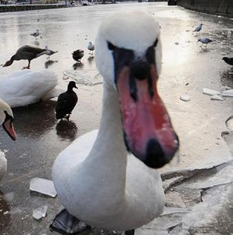 The sound of BBC Radio 4 is keeping foxes away from swans at a wildlife centre, staff have said