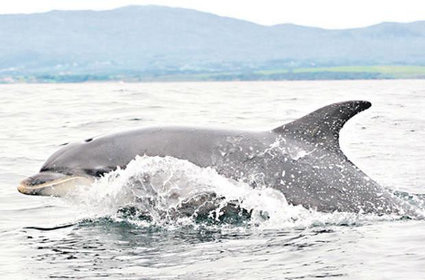 Around 100 bottlenose dolphins have taken up residence in waters off the coast of Co Donegal over the past few days