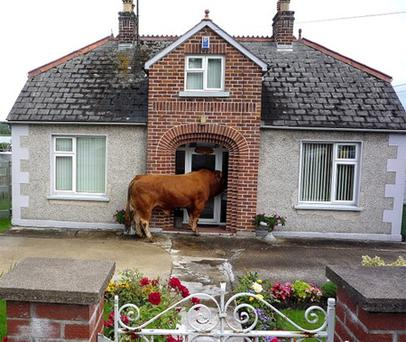The escaped bull peers in through the front door of a house in Enniskillen. Photo: John McVitty