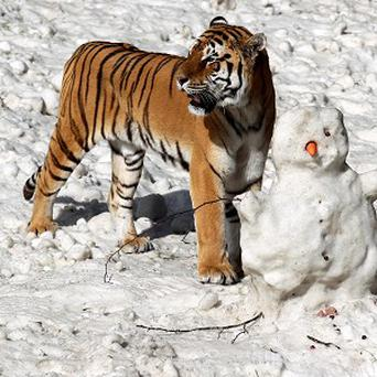 Siberian tiger Genghis takes as closer look at a snowman made by staff at Blair Drummond Safari Park near Stirling