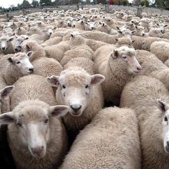 Sheepdogs could find their job taken over by robots after scientists learnt the secret of their herding ability.