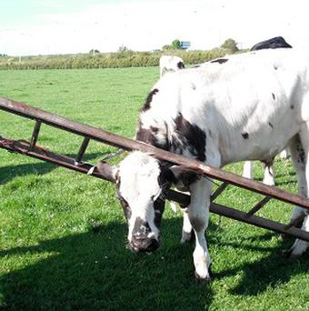 The Scottish SPCA has rescued a cow who got a ladder stuck on his head