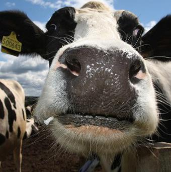 A dairy cow is on the loose in southern Germany