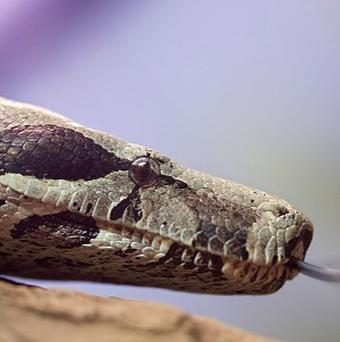 An Arizona man stole several boa constrictors at a pet shop by stuffing them in his shorts (AP)