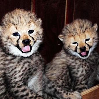 A pair of cheetahs paired up by a computer programme have given birth to three healthy cheetah cubs