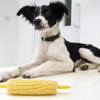 Collie puppy Chubb swallowed a corn skewer during a family barbecue