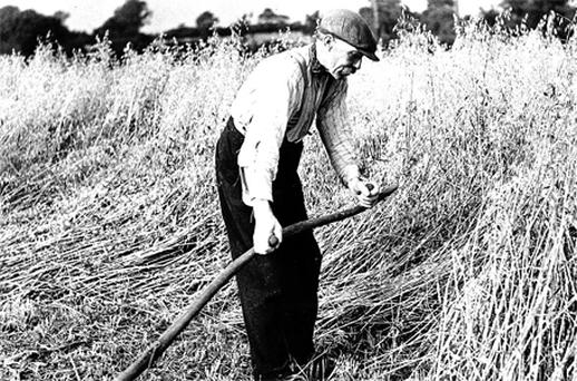 Peace at harvest time: A field worker takes in the crop in 1935