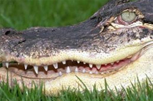 An alligator has attacked and severely injured a 90-year-old woman in south-west Florida. Photo: PA